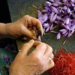 Выращивание шафрана — бизнес, не требующий вложений