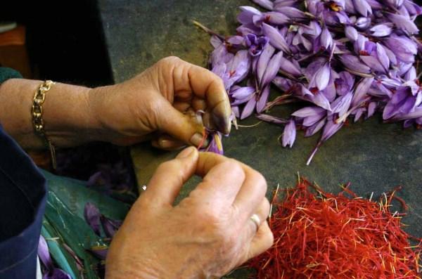 выращивание шафрана бизнес